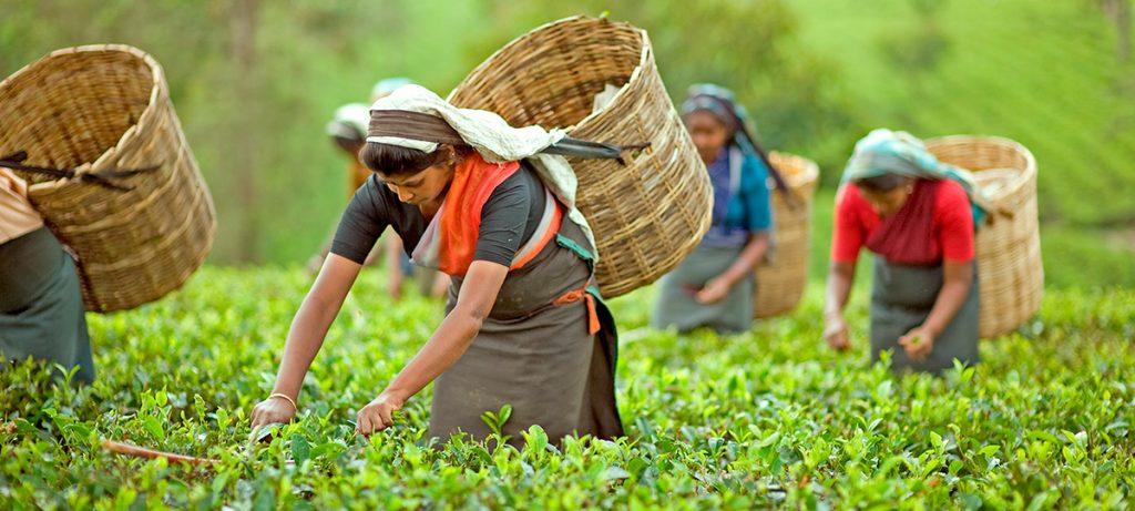 sri lanka recolección del té